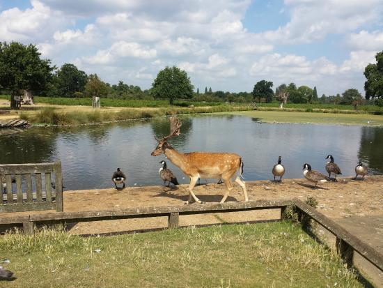 Deer and geese in Bushy Park