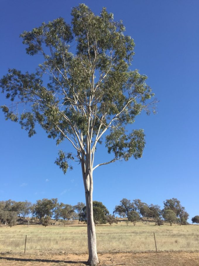 Kookaburra in a gum tree.