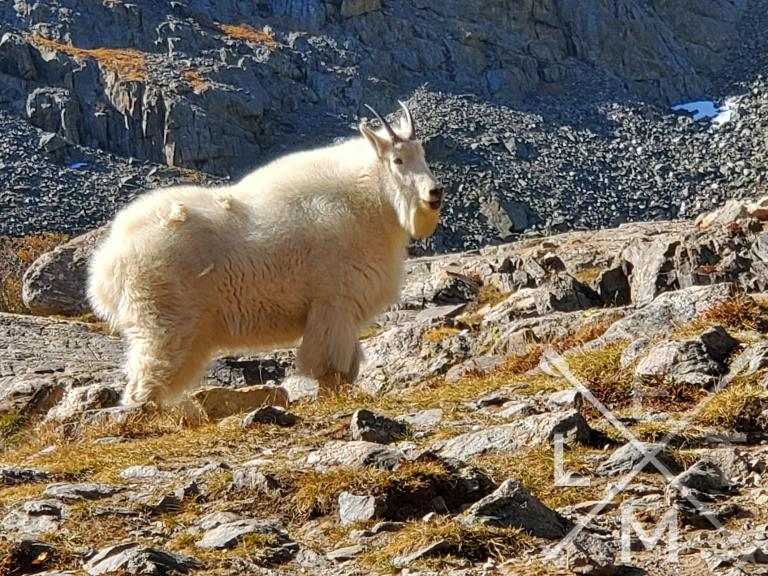 A large mountain goat.