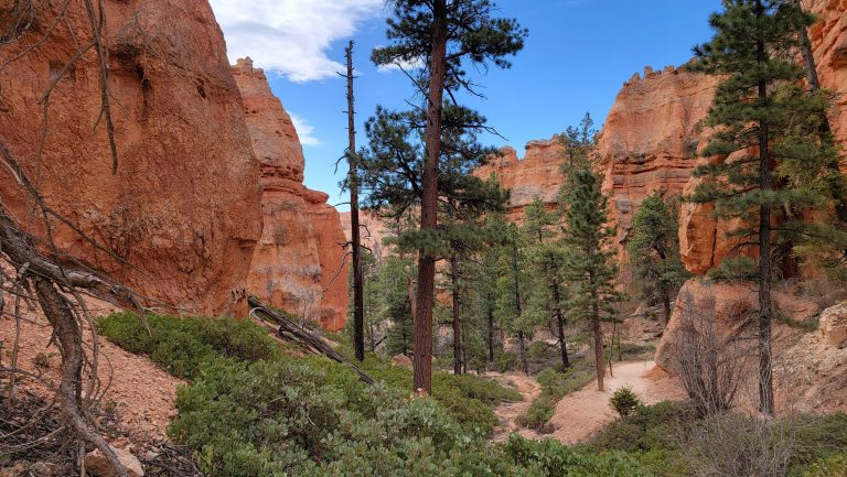 More tree's in the bottom of the canyon.  A series of tall pines line the trail with tall red cliffs on either side from the Peek-a-Boo Loop Trail in Bryce Canyon.