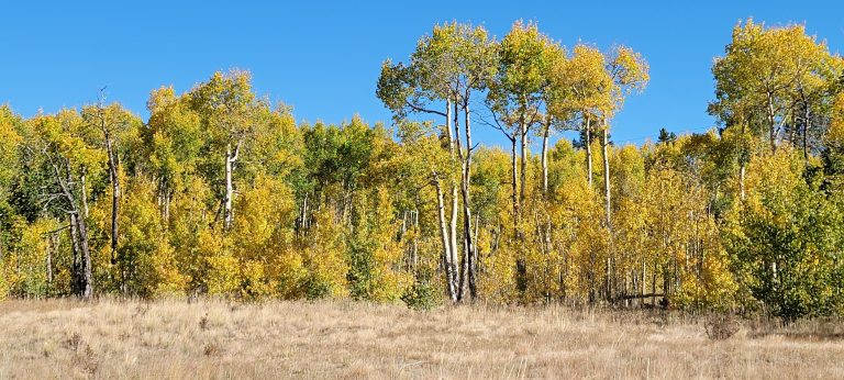 A filed of yellow leaved aspens as part of the fall colors of Colorado at Kenosha Pass