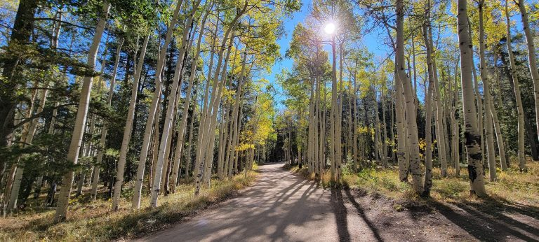 A grove of aspen trees surrounding the road.  The trees have yellow leaves at the top of their tall trunks.  All part of the fall colors of Colorado at Kenosha Pass