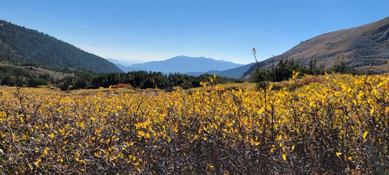 Willow trees with golden leaves frame the mountains in the background on the way to gibson lake.