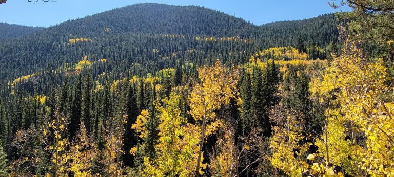 A spattering of gold on hill of evergreens show what fall looks like in Colorado on the trail to Gibson Lake