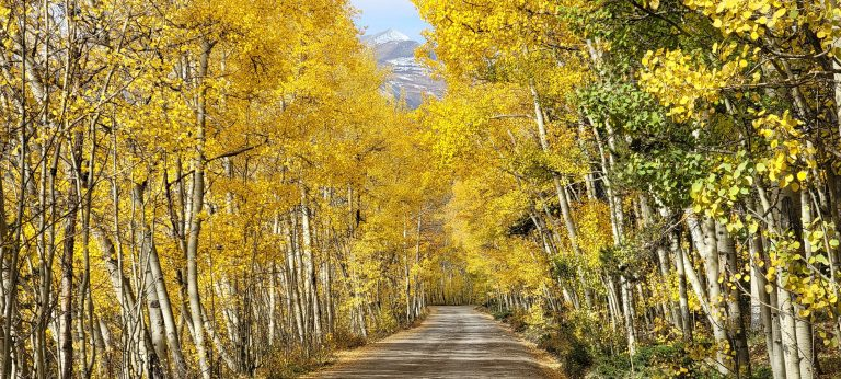 Aspen trees on either side of Boreas Pass form a bit of a canopy over the road.