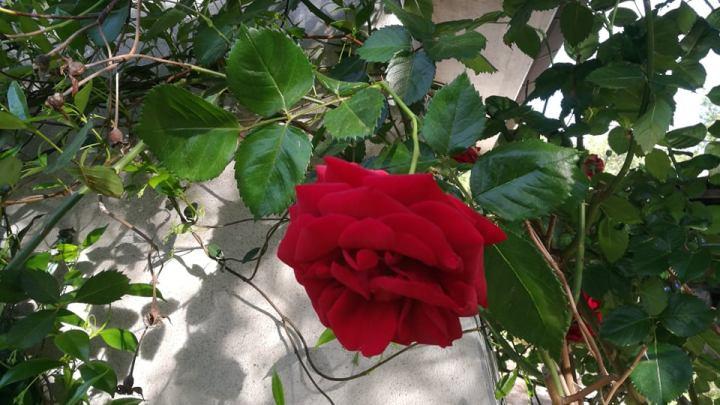 Covid 19/ L'angoscia di ricominciare, la rosa e le sue spine