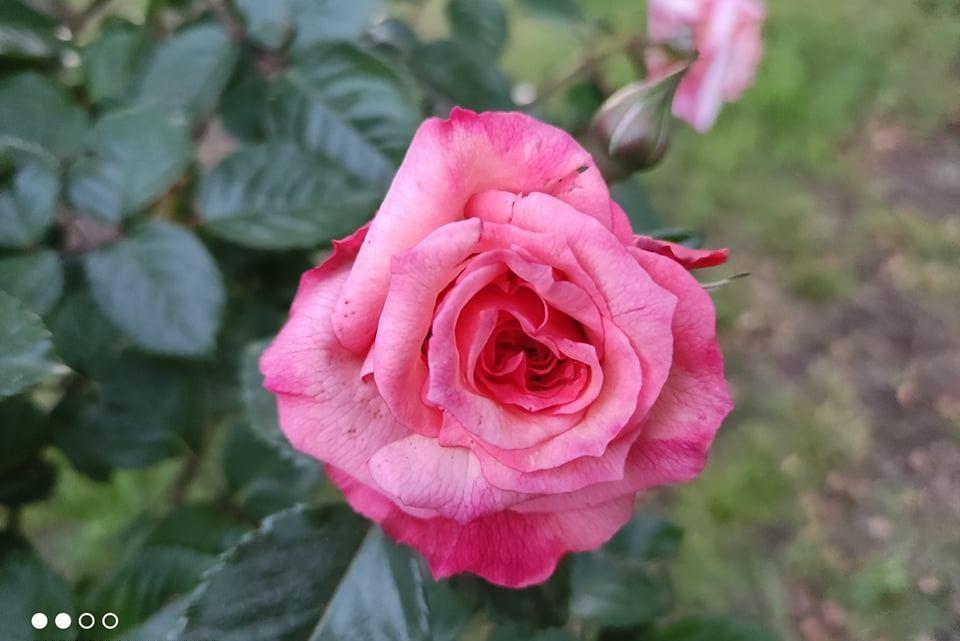 La rosa del mio giardino