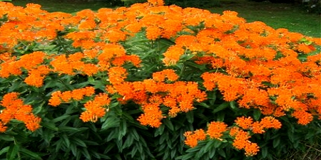 butterfly weed, native plants, Faulkner County Arkansas