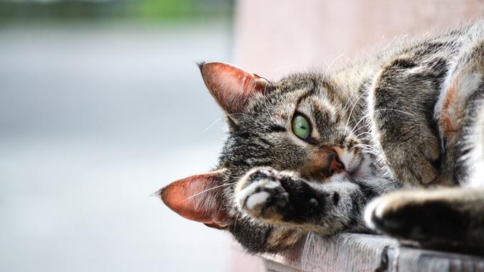 Grey Cat Laying Down - Urgent Care - Faulkville Animal Hospital - Pooler and Effinghamg, GA