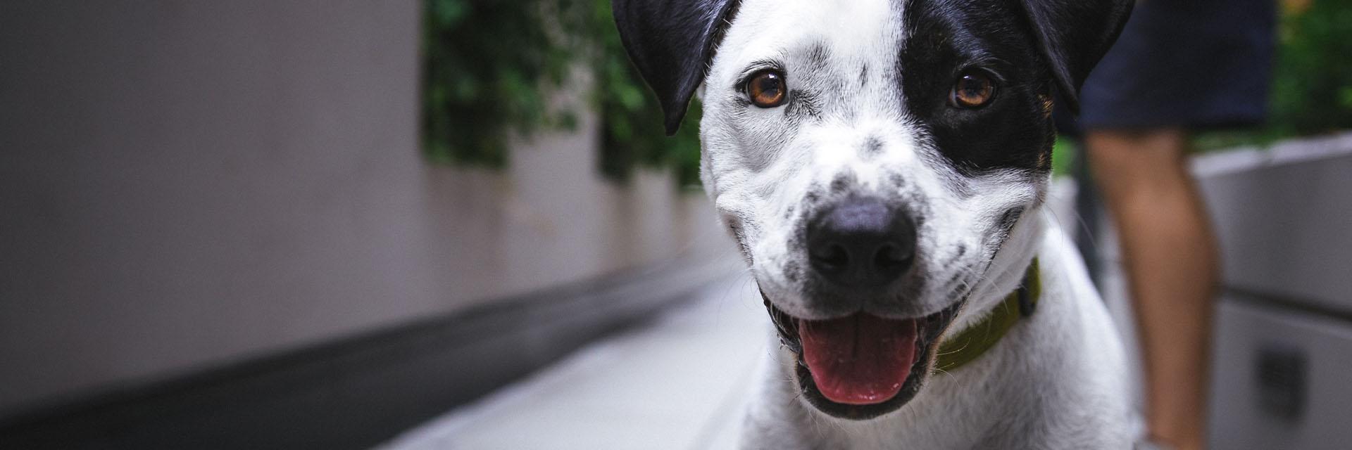 Black and White Dog Walking with Companion - Faulkville Animal Hospital - Bloomingdale, GA