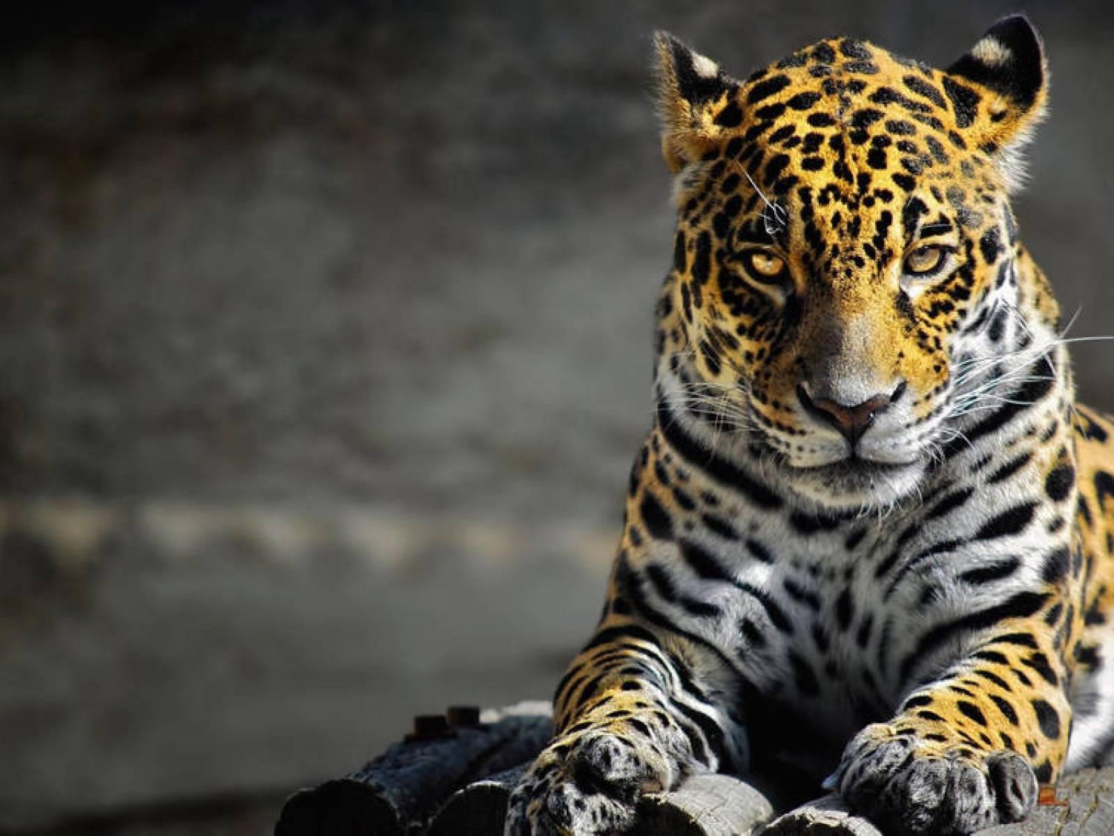 cat: relax white tiger sleep force beautiful cats desktop