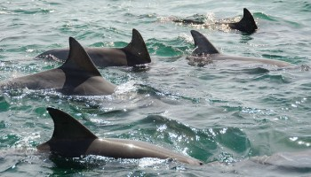 Using 'Citizen Science' To Help Monitor Dolphins