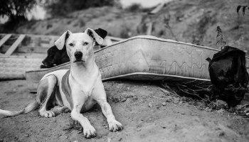 The Adoptability Of Urban Street Dogs