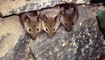 The Ineffectiveness Of Lab Mice As Immunology Models