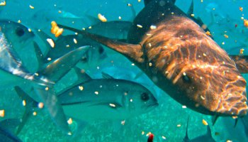 Fishing Strategy Mitigates Shark Attacks