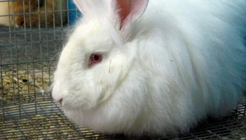 The Welfare Of Rabbits During Transport