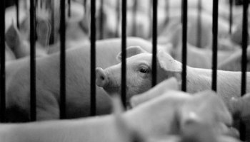 Willingness-To-Pay For Pig Welfare In China