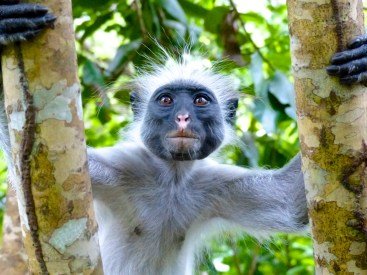 Jozani Forest, Zanzibar. After I snapped this, he climbed to a branch above me and pissed on my head.