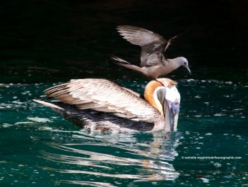 Lava Gull riding a pelican