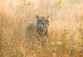 Solid gold morning in Kanha National Park, India, with this young gentleman as he looked for breakfast