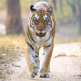 The beautiful Umajhola - wild, free and living the dream in Kanha National Park, Madhya Pradesh, India. Umajhola is one of the area's least popular tigers as she's never had a litter of her own and chooses to just live independently, doing her own thing.
