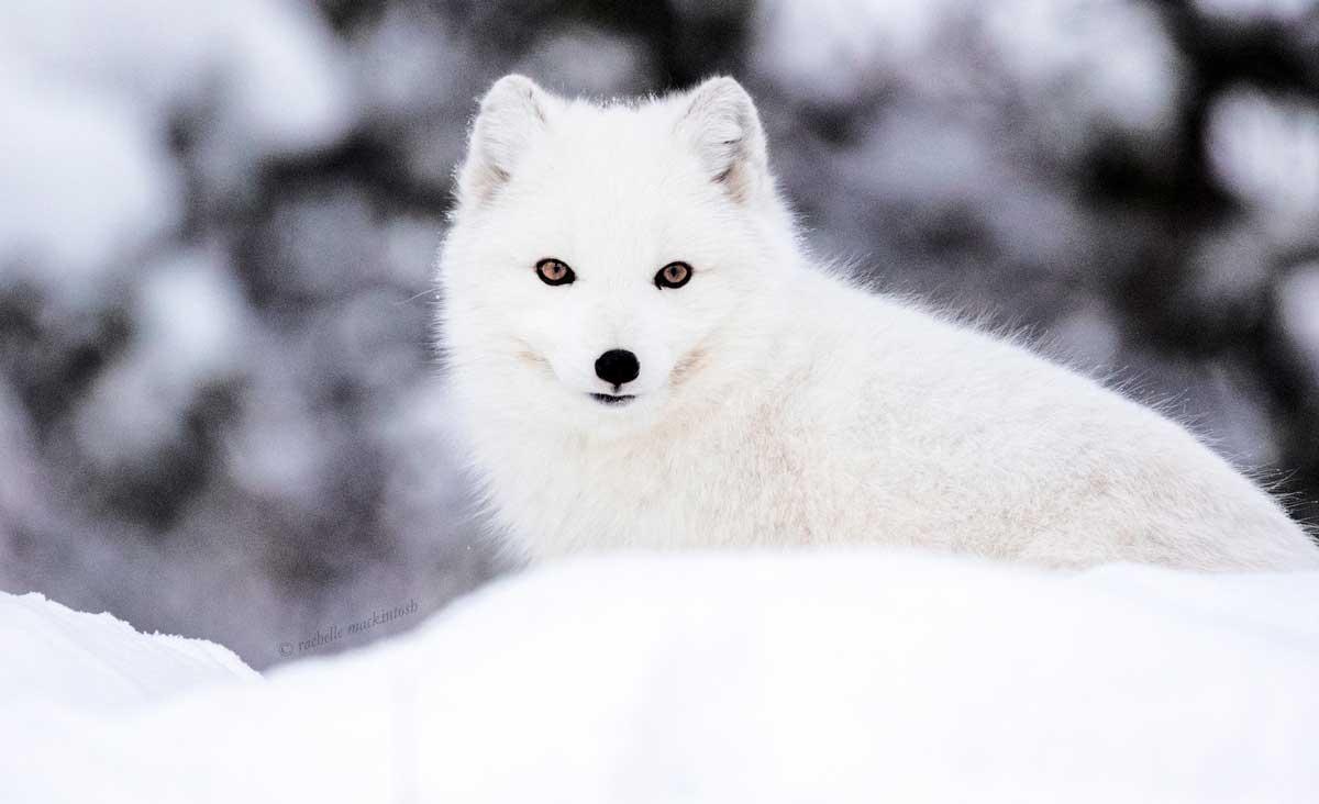 arctic fox canada yukon whiteshorse