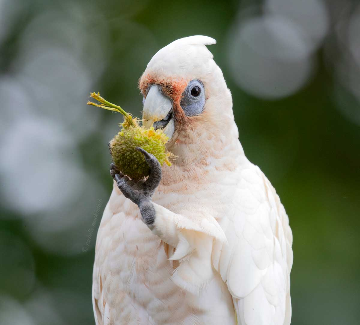 australian parrot corella