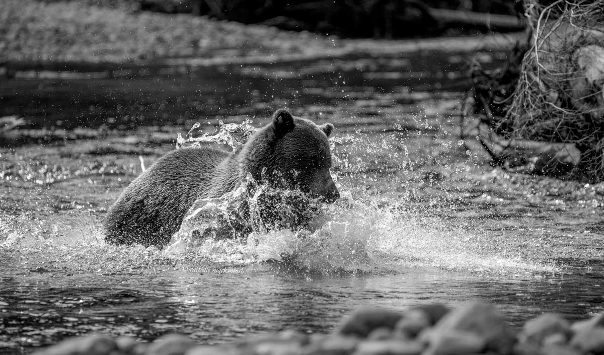 brown bear fishing british columbia canada black and white