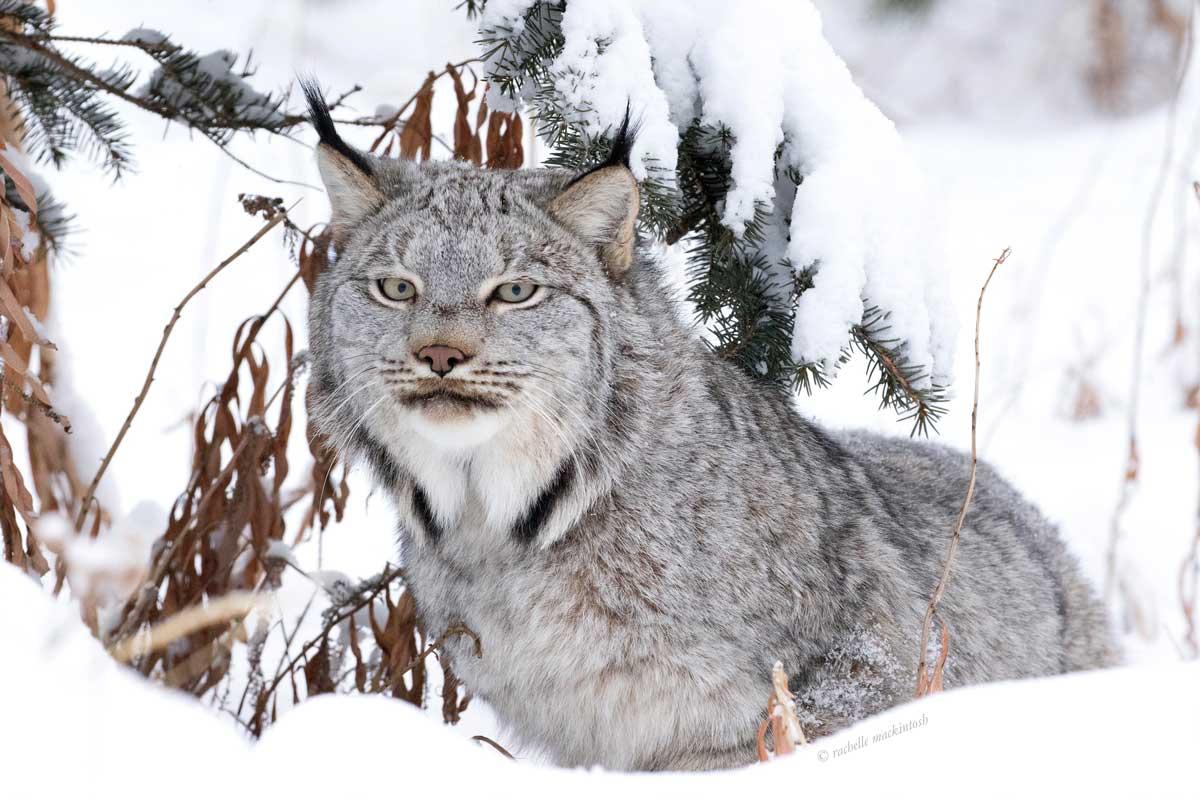 canadian lynx yukon territory winter portrait
