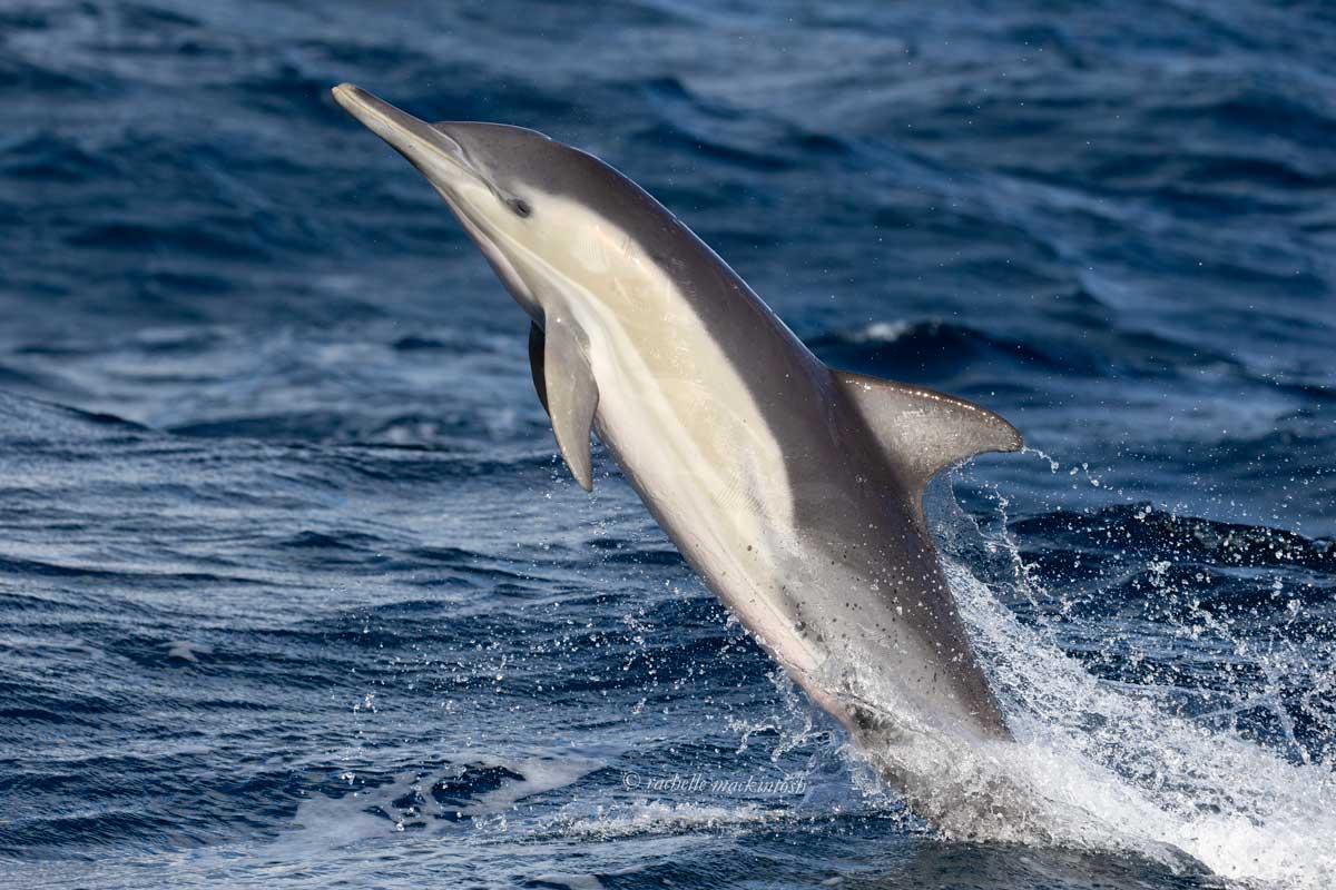 common dolphin sydney