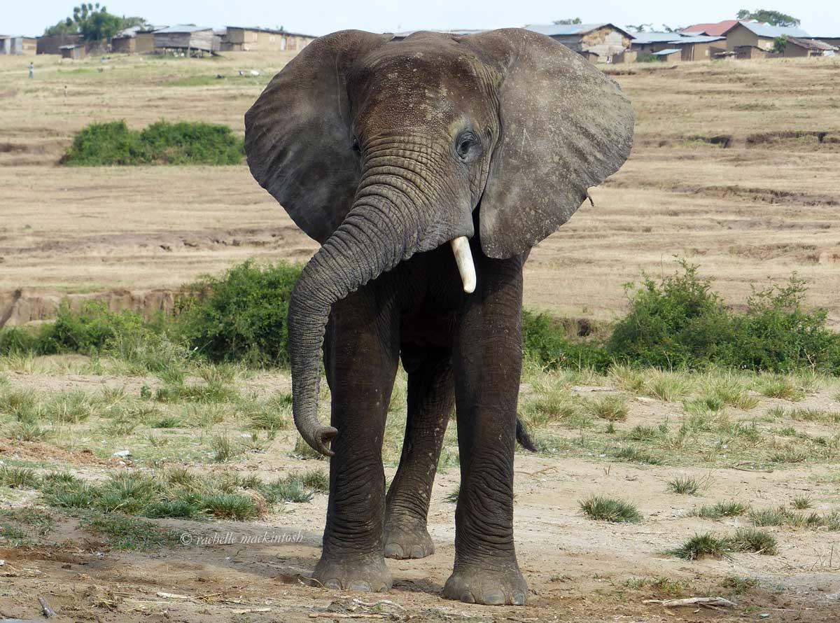elephant kazinga channel uganda