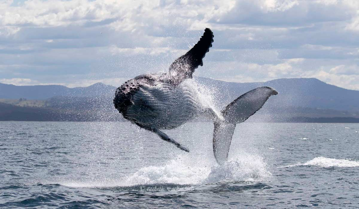 flying humpback whale australia