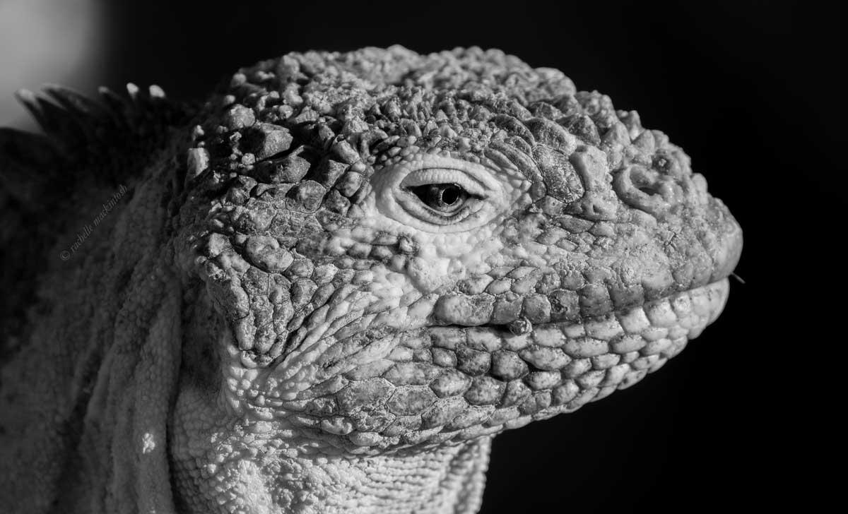 galapagos ecuador marine iguana black and white