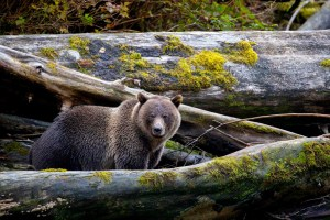 great bear rainforest canada grizzly writing