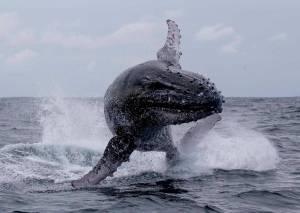 humpback whale calf jumping australia