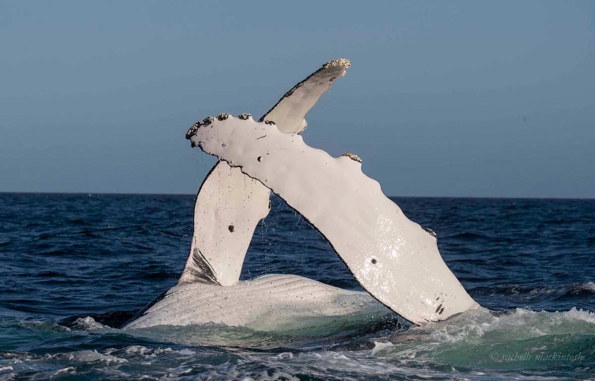 humpback whale fins merimbula nsw
