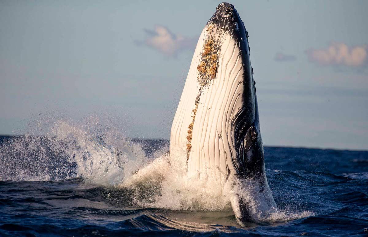 humpback whale maroubra australia