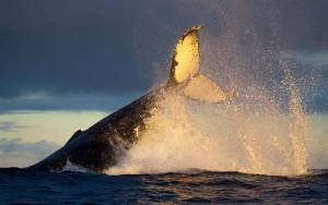 humpback whale tail sunset sydney