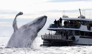 humpback whalewatching sydney