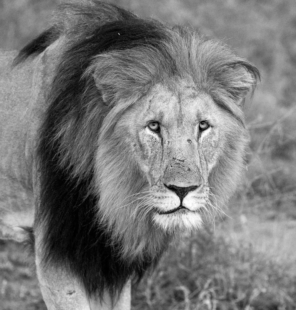 lion madikwe chimbro south africa black and white
