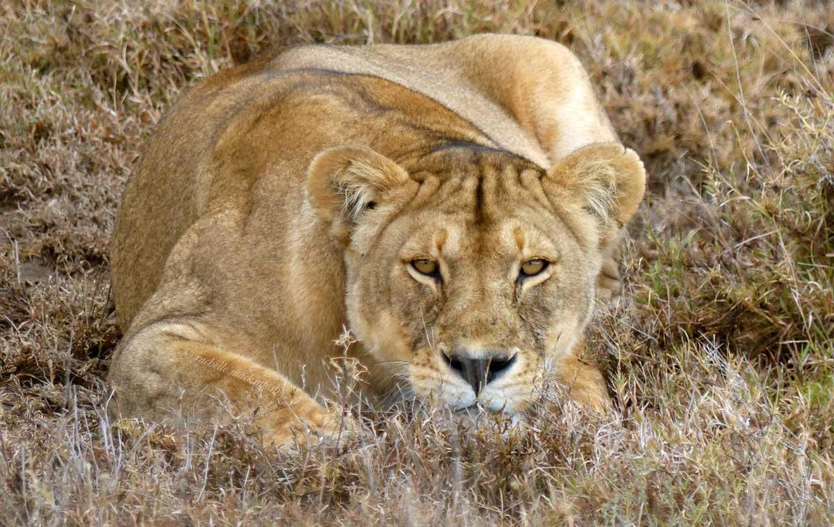 lioness serengeti tanzania