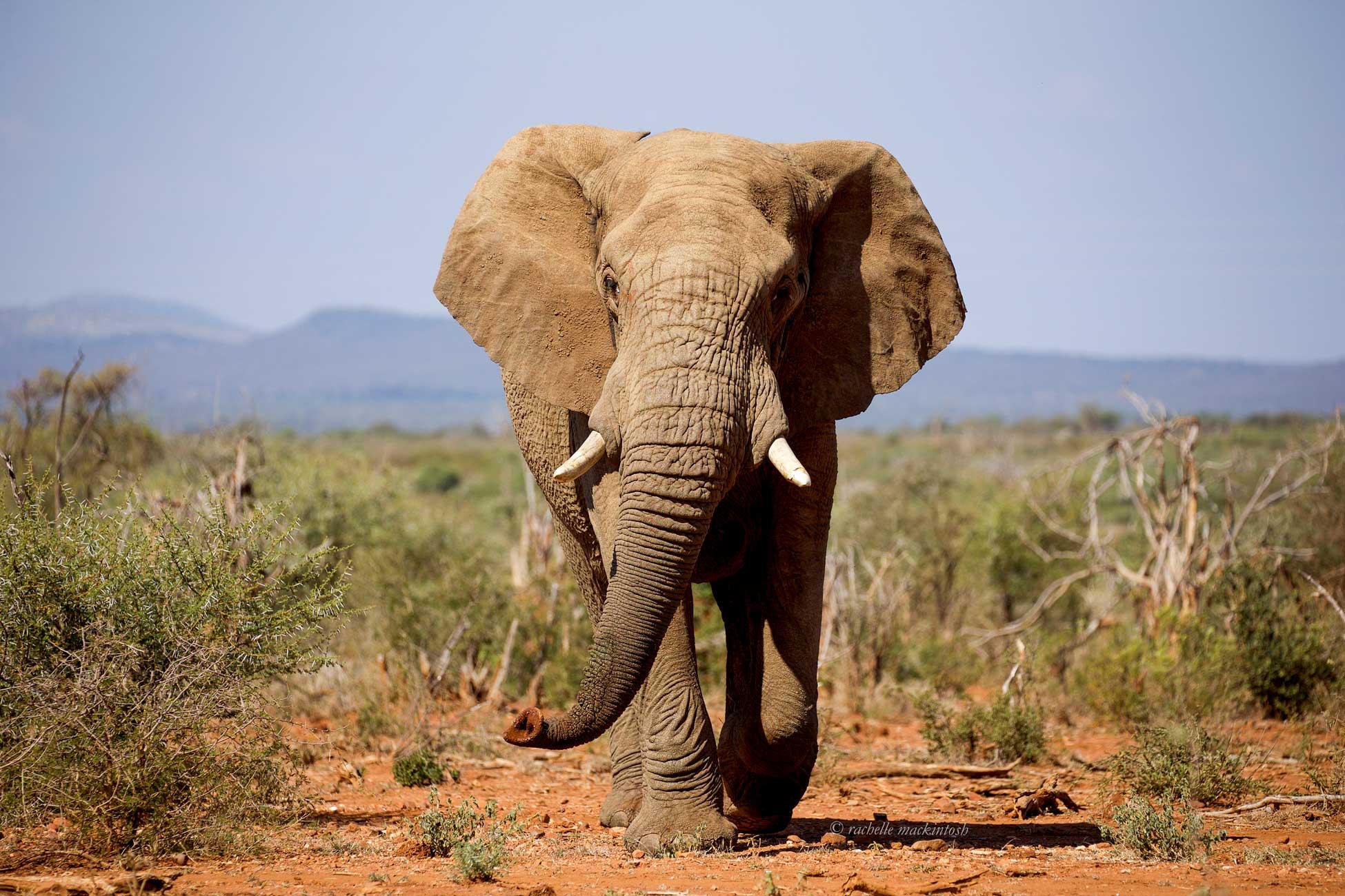 madikwe south africa elephant