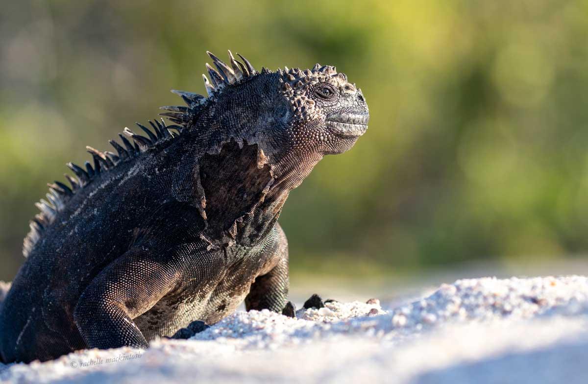 marine iguana ecuador galapagos islands