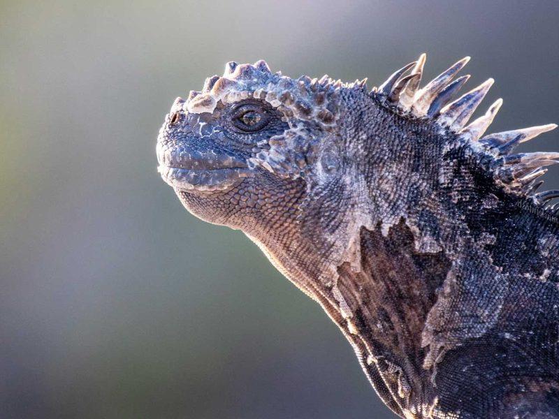 marine iguana galapagos ecuador