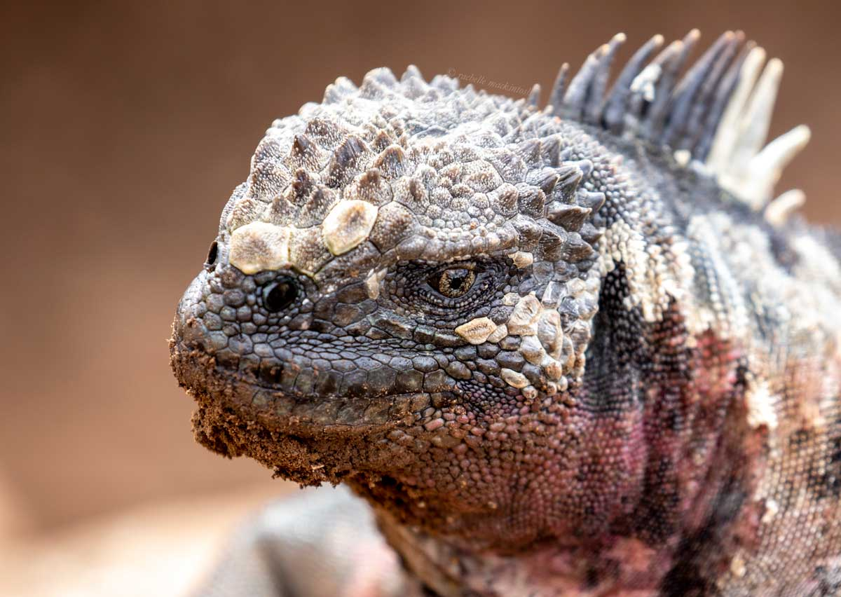 marine iguana portrait galapagos islands ecuador
