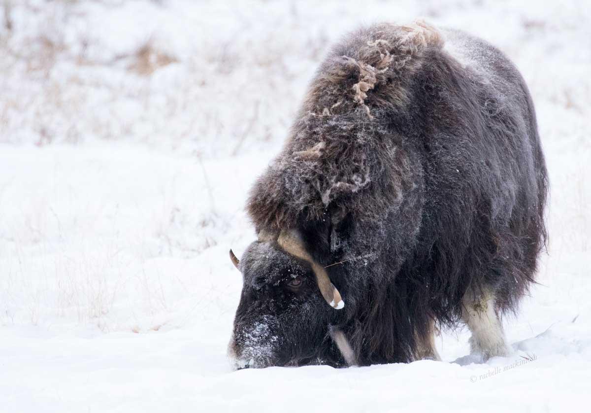 musk ox canadian arctic yukon territory