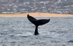 northern beaches sydney humpback whale tail