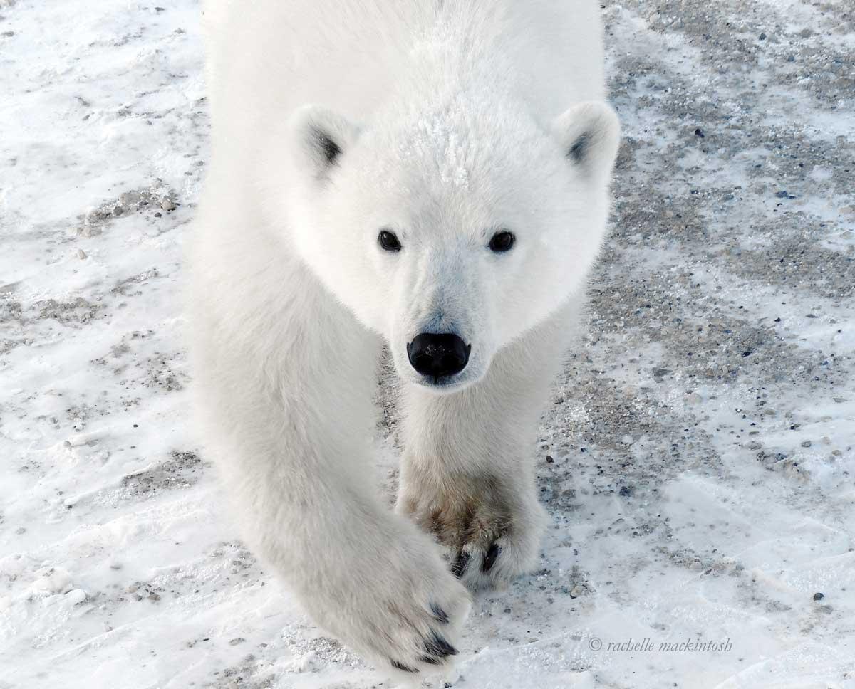polar bear tundra buggy churchill hudson bay frontiers north