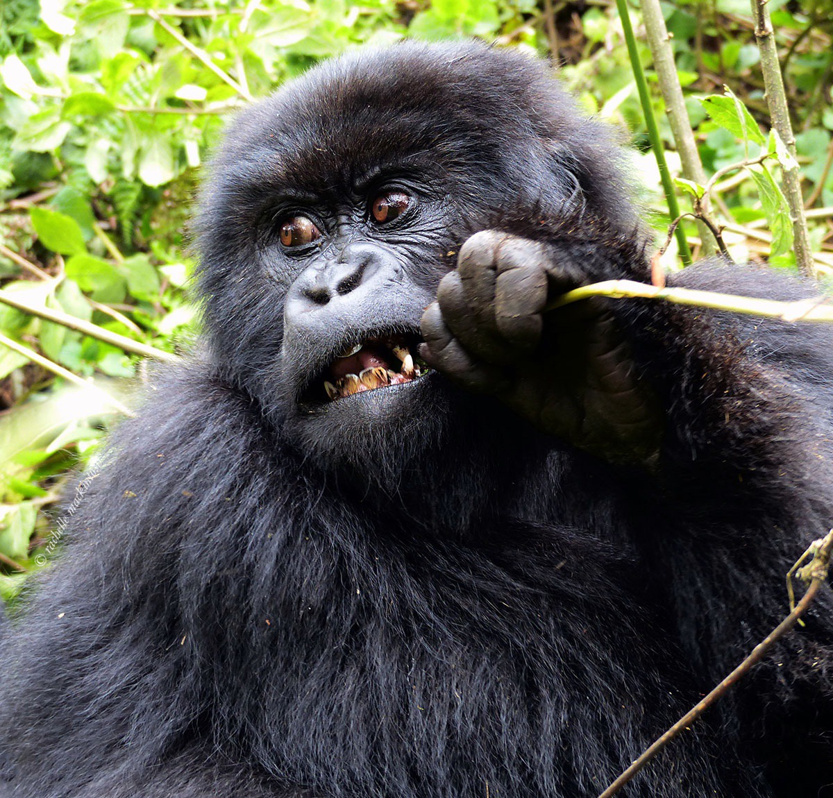 baby gorilla volcanoes national park rwanda