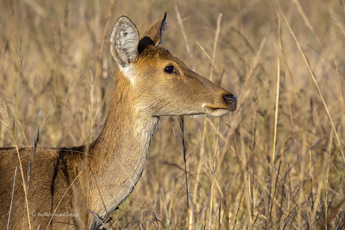chital spotted deer india